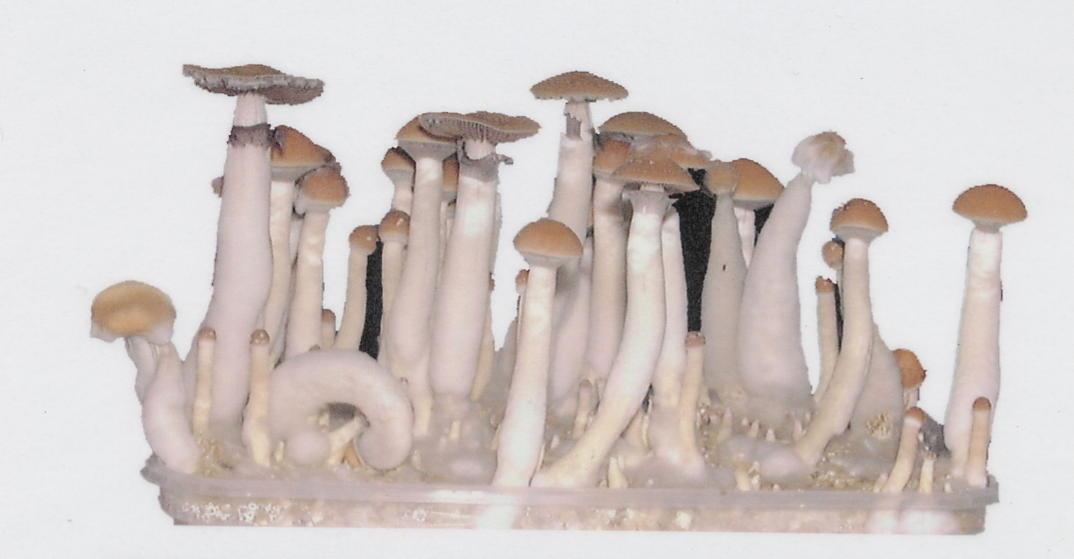 40 USD Magic Mushroom Growing Season